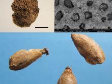 Carcer-Tullianum, stipe votiva di età augustea: Frammento di epicarpo (scorza), particolare al SEM (microscopio elettronico a scansione) e semi di Citrus limon (Foto A. Celant). Scala 5 mm
